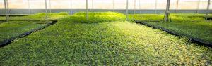 Cultivo de micropropagación in vitro