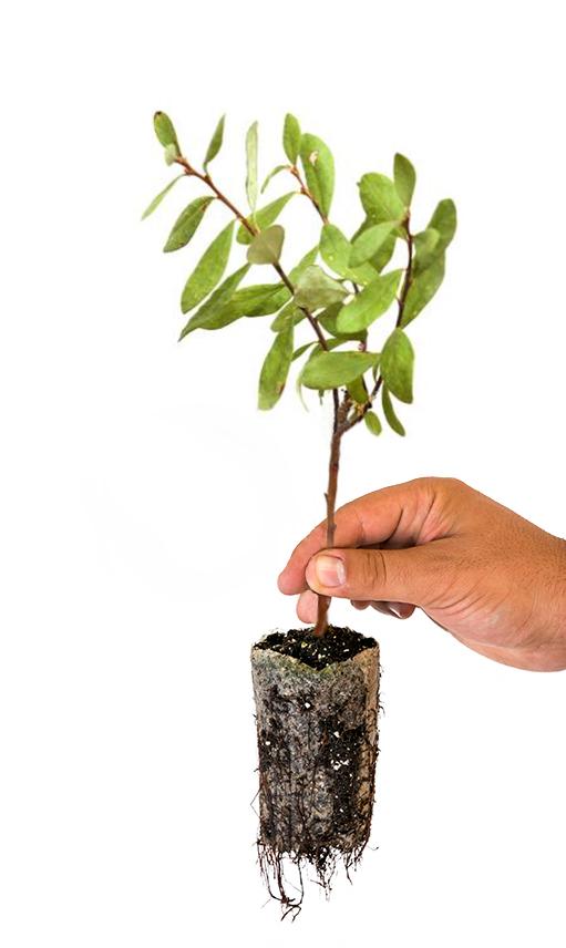 Plantación de arandanos, cultivo de arandanos