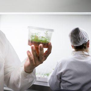 Cultivo in vitro y micropropagación vegetal de nogal y pistacho