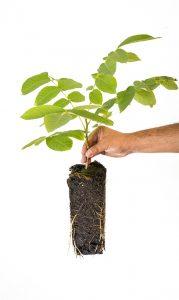 Cultivo de nogal para madera