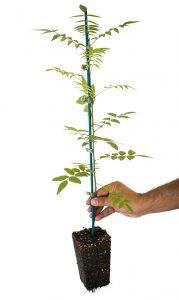 Planta arandanos cultivo in-vitro