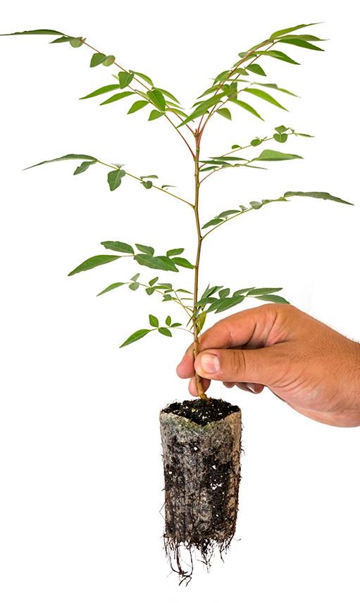 Planta pistachero cultivo in-vitro