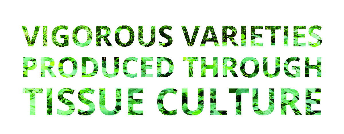 vigorous-varieties-produced-through-tissue-culture