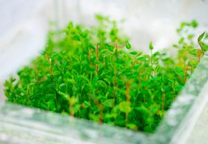 Cultivo arándanos en laboratorio
