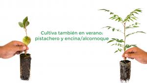 Cultivo en verano de pistachero y encina alcornoque
